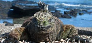 marine-iguanas_2