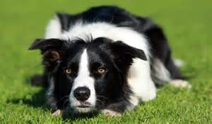 border-collie-986-feet-from-komodo-dragon