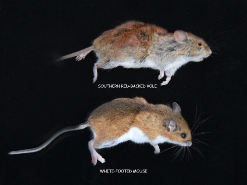 mouse and vole