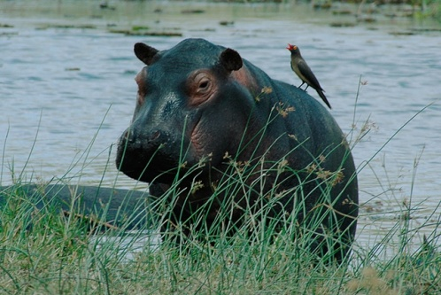 hippo and bird