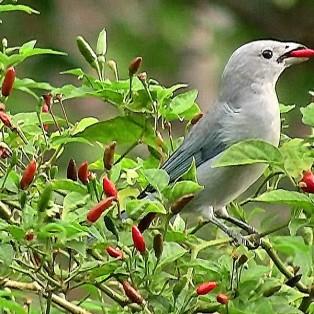 Malagueta pepper