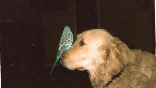parakeet sitting on nose of golden Labrador Retriever