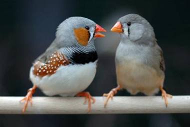 zebra finches on perch arguing over their next migration
