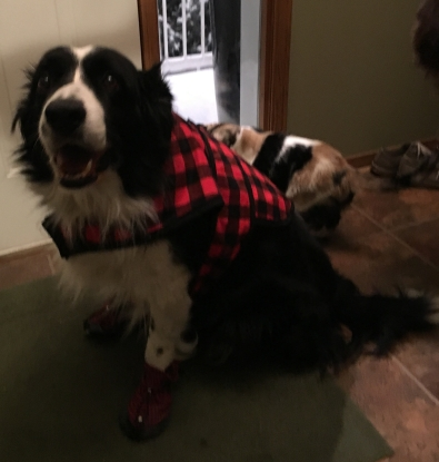 border collie cross wearing coat and booties