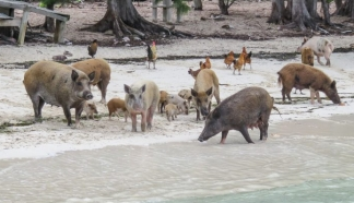 pigs on beach