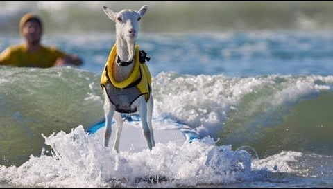 goat standing on surf board