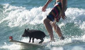 man and small pig on surf board