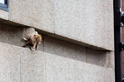 raccoon executing crux move on north face of UBS building