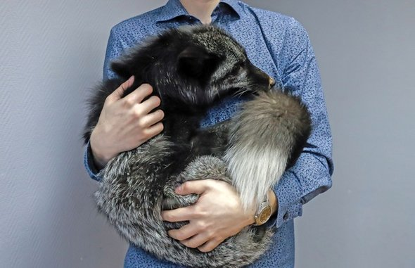person holding silver fox