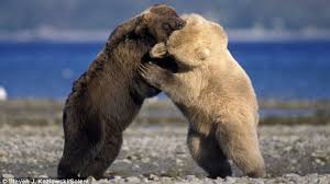 grizzly bear tussling with polar bear