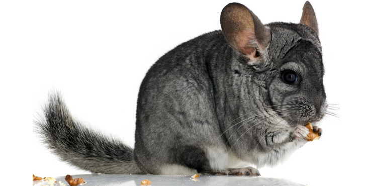 chinchilla nibbling something