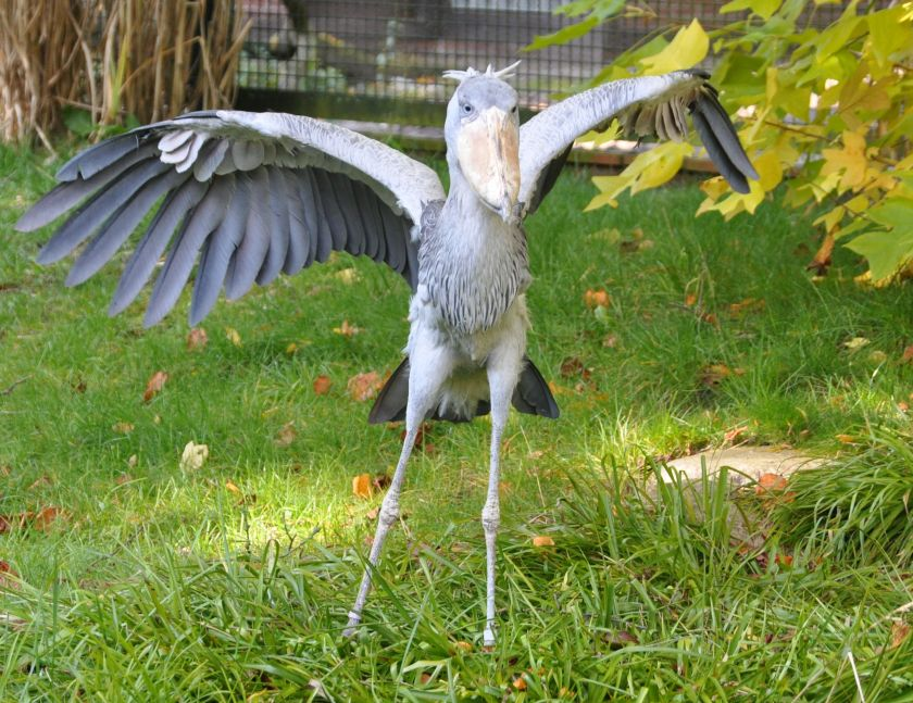 shoebill doing yoga