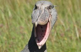 shoebill that looks like a velociraptor