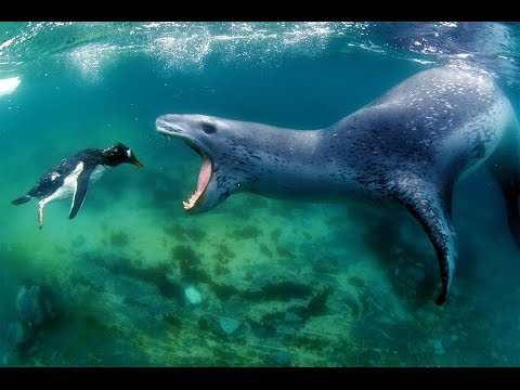 penguin inspecting mouth of leopard seal
