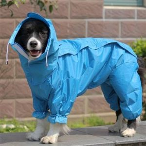 Border Collie in raincoat